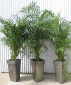 Location de plantes d'ornements Kentia 1.60M