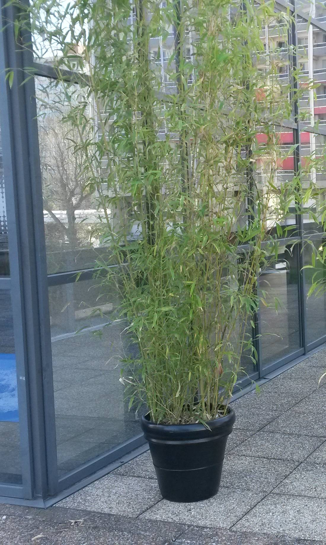 Location de Bambou  d'une hauteur de 3 mètres