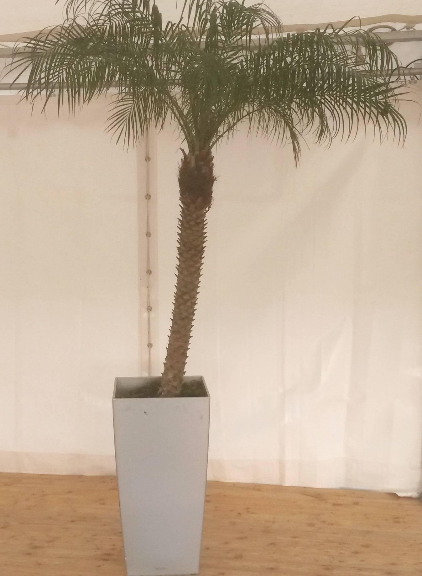 Location de Palmier avec pot décoration à Lyon